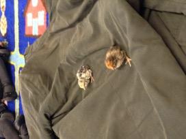 chicks-hatching-whitehall-independent-school-cambridge